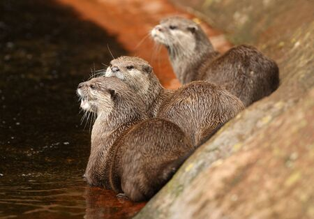 A group of Oriental Short-Clawed Otters  Stock Photo - 16621382