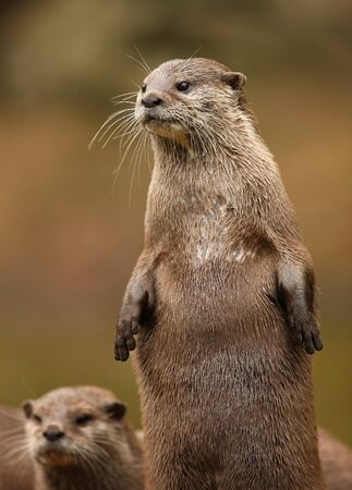 A pair of Oriental Short-Clawed Otters Stock Photo - 16621406