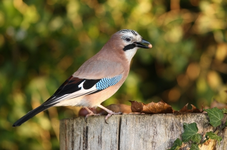 Portrait of a Jay Stock Photo - 16621397