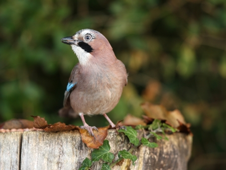 Portrait of a Jay Stock Photo - 16621389