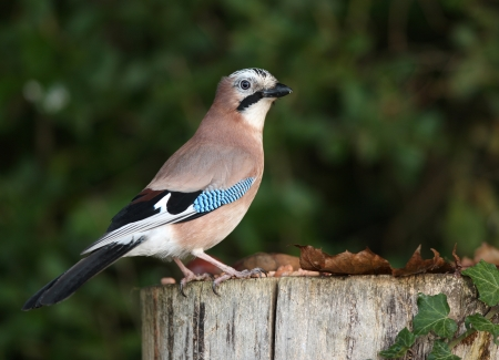 Portrait of a Jay Stock Photo - 16621396
