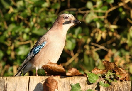 Portrait of a Jay Stock Photo - 16621385