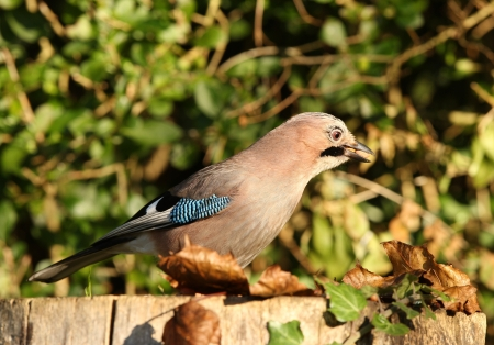 Portrait of a Jay Stock Photo - 16621388