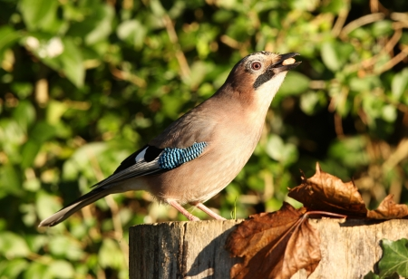 Portrait of a Jay Stock Photo - 16621386