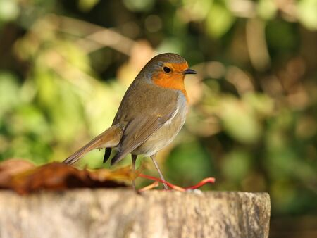 Portrait of a Robin in Autumn Stock Photo - 16621380