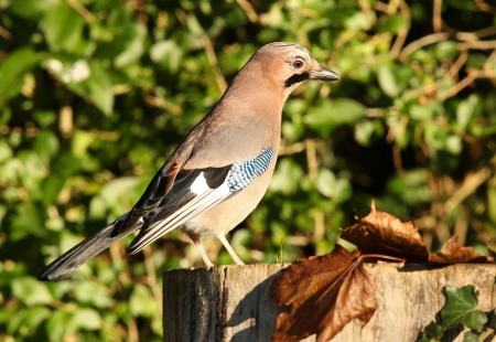 Portrait of a Jay Stock Photo - 16621393