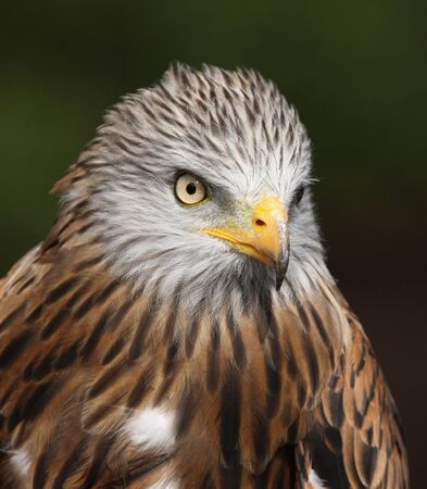 Portrait of a Red Kite Stock Photo - 16621394
