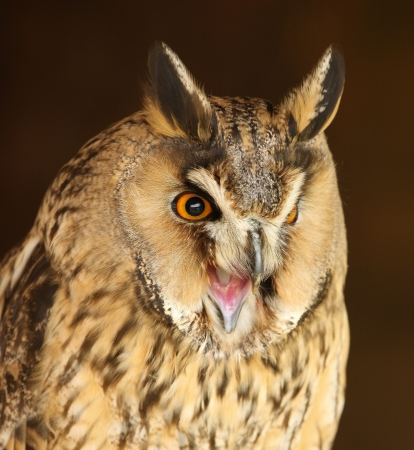 Portrait of a Long Eared Owl screeching photo