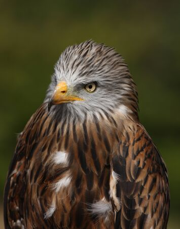 Portrait of a Red Kite Stock Photo - 16621400