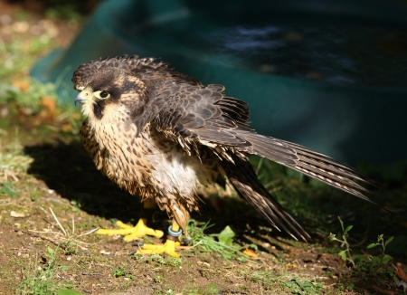 Close up of a Lanner Falcon preening after a wash Stock Photo