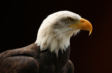 Portrait of a Bald Eagle Stock Photo - 16621403