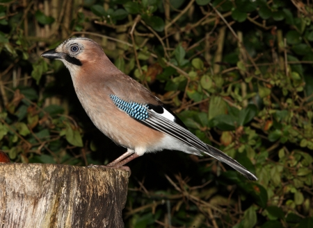 Portrait of a Jay Stock Photo - 16621390