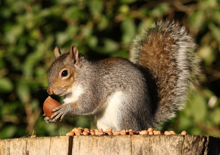 Portrait of a Grey Squirrel eating Chestnuts in Autumn Stock Photo