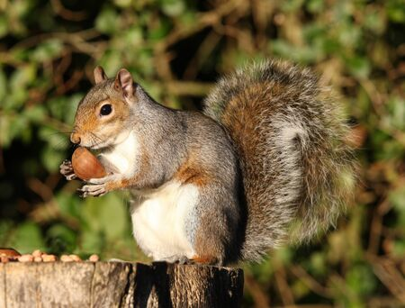 Portrait of a Grey Squirrel eating Chestnuts in Autumn Stock Photo - 16621398