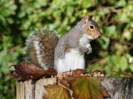 Portrait of a Grey Squirrel eating nuts in Autumn