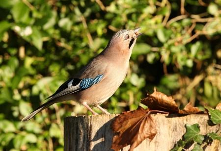 Portrait of a Jay Stock Photo - 16621391