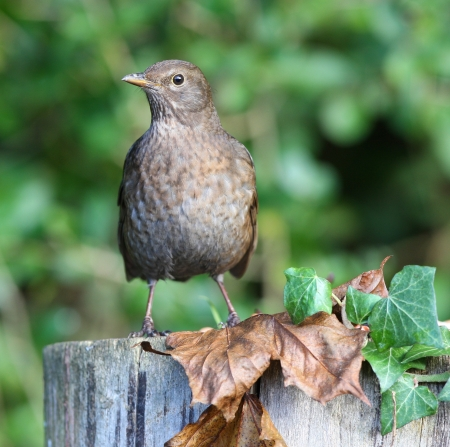 Close up of a female Blackbird on a tree stump in autumn Stock Photo - 17013362