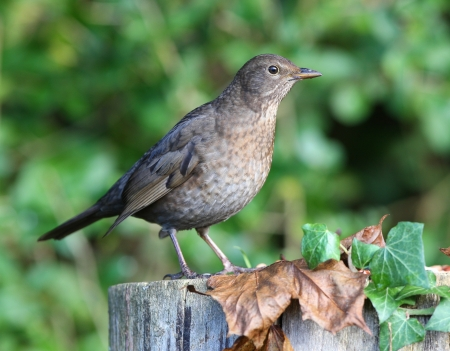 Close up of a female Blackbird on a tree stump in autumn Stock Photo - 17013364