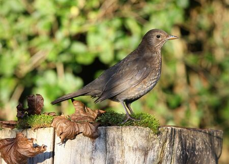 Close up of a female Blackbird on a tree stump in autumn Stock Photo - 17013367
