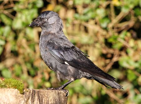 Portrait of a very old Jackdaw on a tree stump in autumn Stock Photo - 17013365