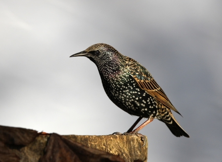 Close up of a Starling showing his many colours