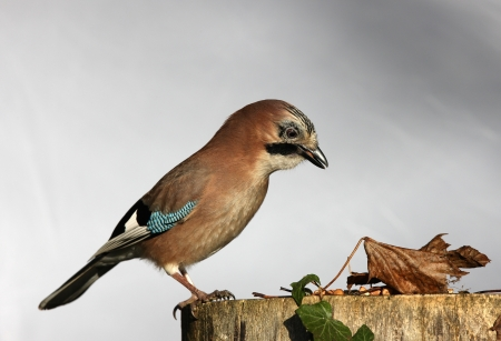 Close up of a Jay eating peanuts on a tree stump in autumn Stock Photo - 17013369