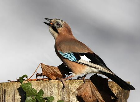 Close up of a Jay eating peanuts on a tree stump in autumn Stock Photo - 17013368