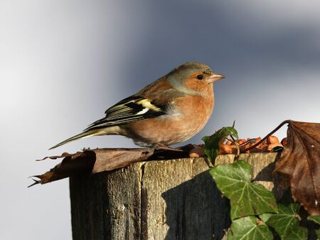 Close up of a male chaffinch on a tree stump in autumn Stock Photo - 17013360