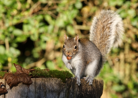 Portrait of a Grey Squirrel eating peanuts in Autumn