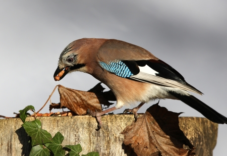 Close up of a Jay eating peanuts on a tree stump in autumn Stock Photo - 17078605