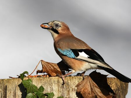 Close up of a Jay eating peanuts on a tree stump in autumn photo