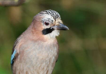 Close up of a Jay Stock Photo - 17078627