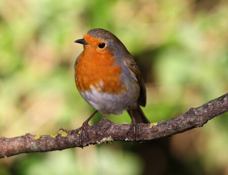 Portrait of a Robin Stock Photo - 17078635