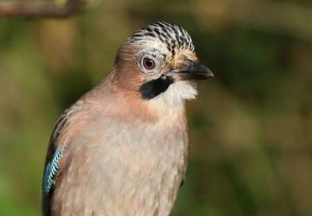 Close up of a Jay Stock Photo - 17078607