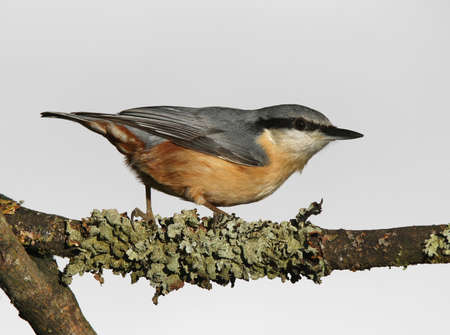 Portrait of a Nuthatch perched on a lychen covered branch Stock Photo - 17078638