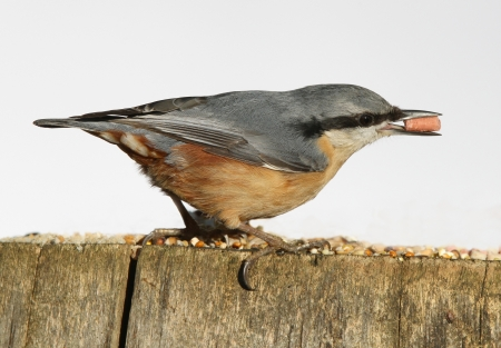 Portrait of a Nuthatch eating suet