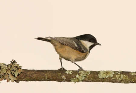 Portrait of a Coal Tit  periparus ater  Stock Photo - 17310261