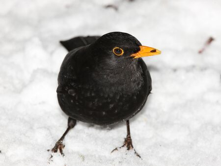 Close up of a male Blackbird searching for food in the snow Stock Photo - 17444247