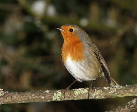 A Robin perched on a branch in winter Stock Photo - 17534890