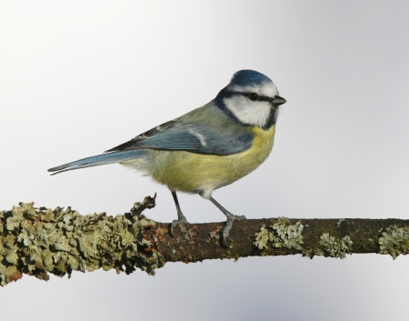 Portrait of a Blue Tit perched on a branch Stock Photo - 17534888