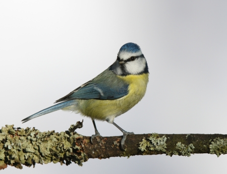 Portrait of a Blue Tit perched on a branch Stock Photo - 17534880