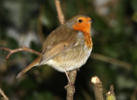 A Robin perched on a branch in winter Stock Photo - 17534892