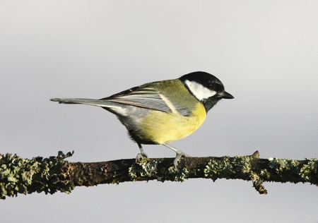 A Great Tit perched on a branch Stock Photo - 18333604