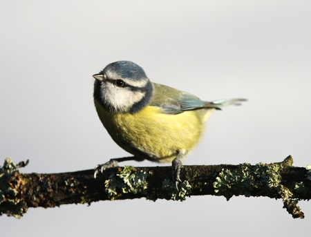 A Blue Tit perched on a branch