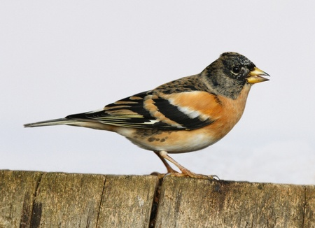 A male Brambling perched on a tree stump Stock Photo - 18333605