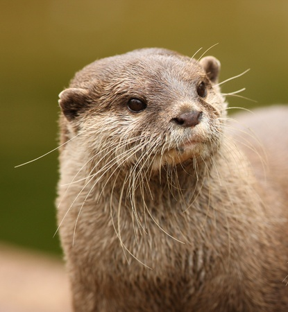 Portrait of an Oriental Short-Clawed Otter Stock Photo - 18516853
