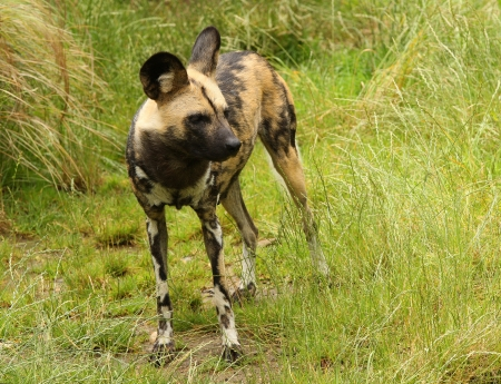 Close up of an African wild dog