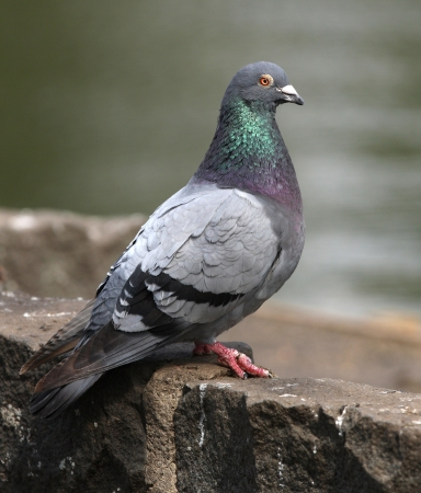 Portrait of a Rock Dove Stock Photo - 18957113