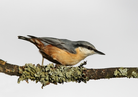 Portrait of a Nuthatch perched on a lichen covered branch Stock Photo - 19081148