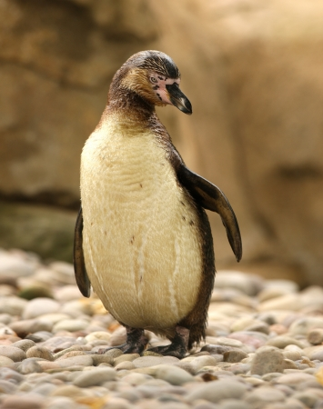 Portrait of a Humboldt Penguin Stock Photo